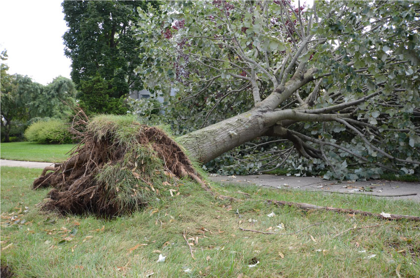 Fallen-tree-removal-with-roots-above-ground